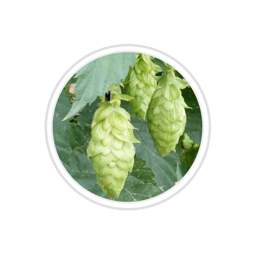BELGIAN hops to make YVEGEM beer